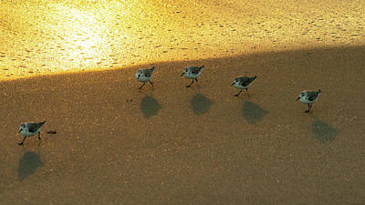 Photograph - Golden Sanderlings Delray Beach Florida by Lawrence S Richardson Jr