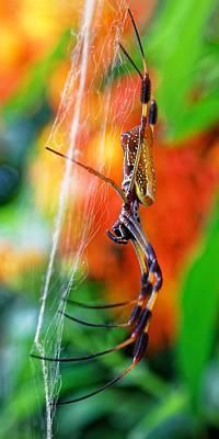 Photograph - Golden Silk Orb Weaver by KJ Swan