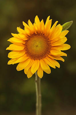 Wall Art - Photograph - Golden Sunflower by Stacy Honda