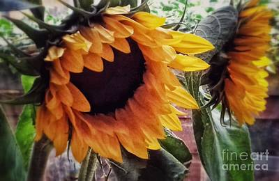 Photograph - Golden Sunflowers by Joan-Violet Stretch