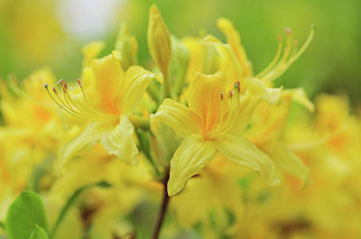 Photograph - Golden Sunset. Rhododendron Bloom by Jenny Rainbow
