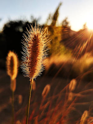 Photograph - Golden Wildgrass by Richard Stephen