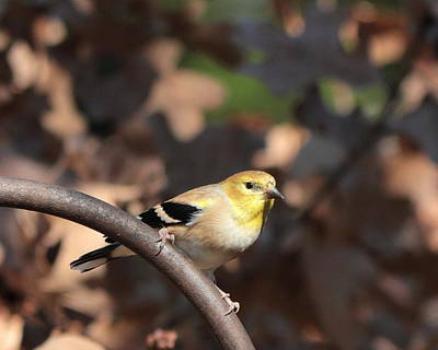 Photograph - Goldfinch 4008 by John Moyer