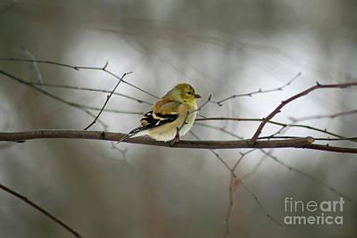 Photograph - Goldfinch On Winter Branch by Karen Adams