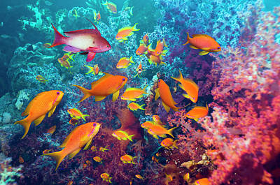 Photograph - Goldies And Soft Corals by Georgette Douwma