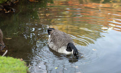 Photograph - Goose Head In Water by Scott Lyons
