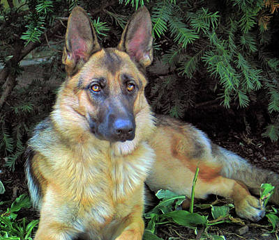 Sean Rights Managed Images - Gorgeous German Shepherd Bitch Royalty-Free Image by Robert Frank Gabriel