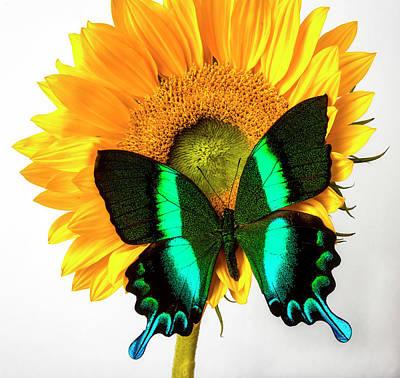 Photograph - Gorgeous Green Butterfly On Sunflower by Garry Gay