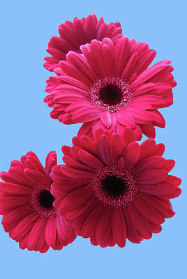 Photograph - Gorgeous Red Gerberas In The Sky by Johanna Hurmerinta