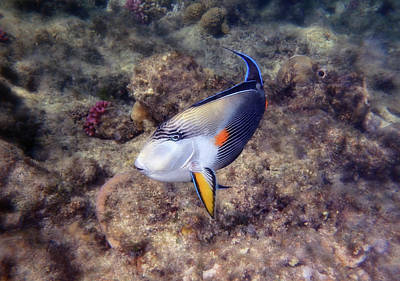 Photograph - Gorgeous Red Sea Sohal Surgeonfish  by Johanna Hurmerinta