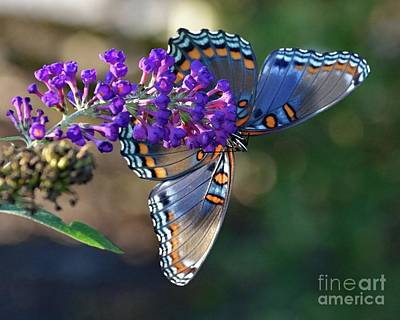 Beaches And Waves Rights Managed Images - Gorgeous Underside - Red-spotted Purple Royalty-Free Image by Cindy Treger
