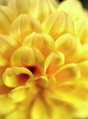 Sean - Gorgeous Yellow Dahlia Petals by Johanna Hurmerinta