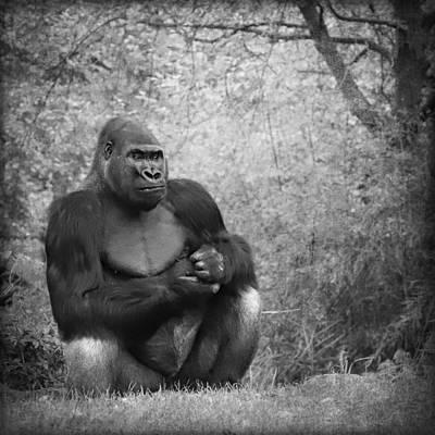 Portrait Study Mixed Media - Gorilla 17 by Heike Hultsch