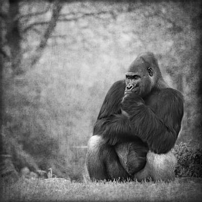 Portrait Study Mixed Media - Gorilla 3 by Heike Hultsch