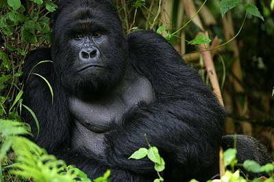 Photograph - Gorillas New Threat Of Extinction by Brent Stirton