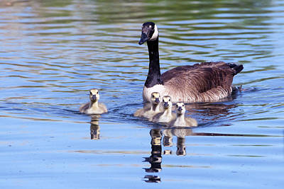 Photograph - Goslings And Adult Canada Goose 7275-041519 by Tam Ryan