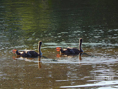 Photograph - Goslings In River by Phil Perkins