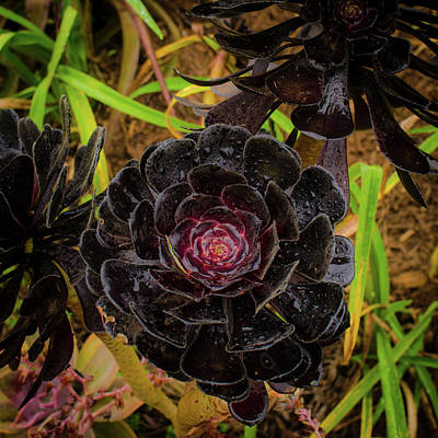 Photograph - Goth Succulent by Jeff Phillippi