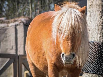 Photograph - Gotland Pony by Robin Zygelman