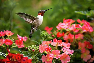 Hummingbird Photograph - Graceful Garden Jewel by Christina Rollo