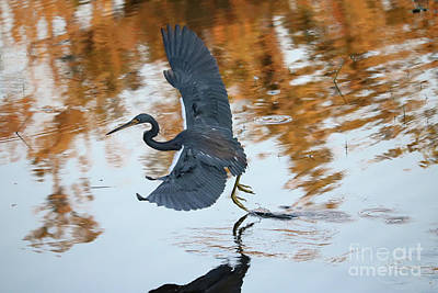 Photograph - Graceful Hunting Heron by Carol Groenen