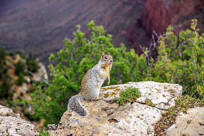 Photograph - Grand Canyon Squirrel by Dawn Richards