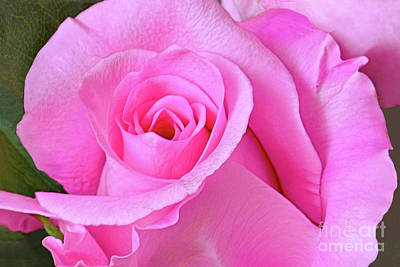 Royalty-Free and Rights-Managed Images - Grand Opening of a Pink Rose by Regina Geoghan
