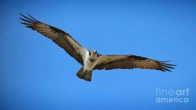 Photograph - Grand Osprey by Carol Groenen