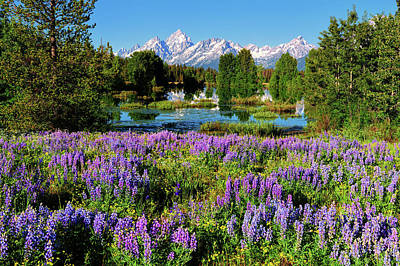 Photograph - Grand Teton Lovely Lupines by Greg Norrell