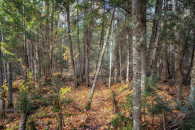 Photograph - Grandma's Cedar by Susan Rissi Tregoning