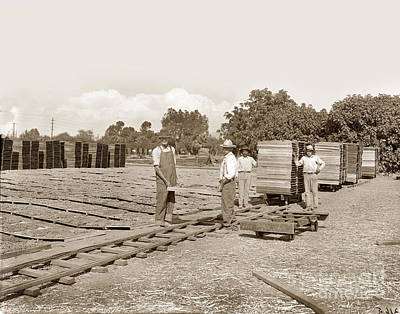 When Life Gives You Lemons - Grape drying, Visalia, Circa 1910 by California Views Archives Mr Pat Hathaway Archives