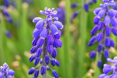 Photograph - Grape Hyacinth by Miriam Bade