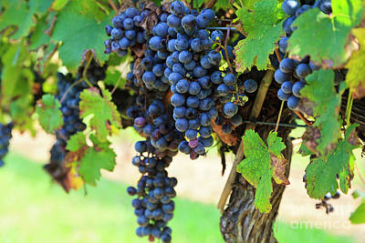 Photograph - Grapes Ready To Harvest Hanging On A Grapevine by Jill Lang