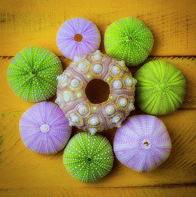 Photograph - Graphic Sea Urchins by Garry Gay