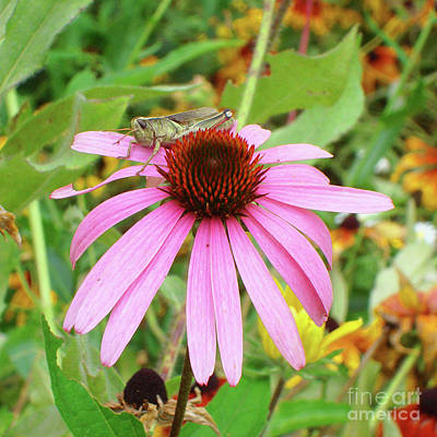 Photograph - Grasshopper And Echinacea 2 by Amy E Fraser