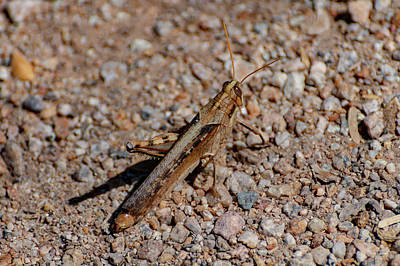 Photograph - Grasshopper by Douglas Killourie