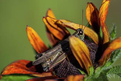 Photograph - Grasshopper On Rudbeckia by Robert Potts