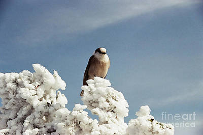 Photograph - Gray Jay on the Valley Way by Larry Davis Custom Photography