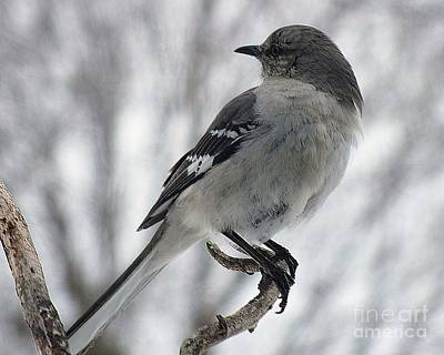 Staff Picks Judy Bernier Rights Managed Images - Gray on Gray - Northern Mockingbird Royalty-Free Image by Cindy Treger
