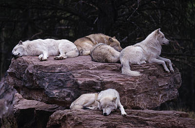Animal Animal Photograph - Gray Wolf, Canis Lupus by D. Robert Franz