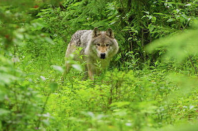 Photograph - Gray Wolf, Golden, British Columbia by Cultura Rf/geoff Oddie