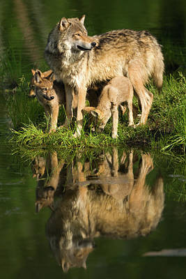 Photograph - Gray Wolf Mother And Pups Standing by Jimkruger
