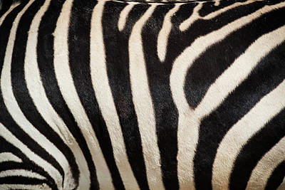 Photograph - Gray's Zebra by Bud Simpson