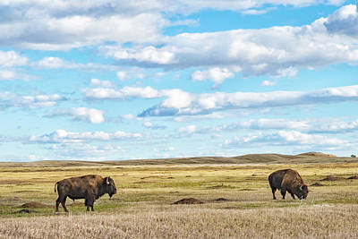 Photograph - Grazing Buffalo by Jim Thompson