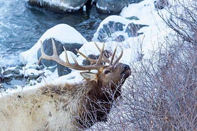 Photograph - Grazing Elk by Michael Chatt