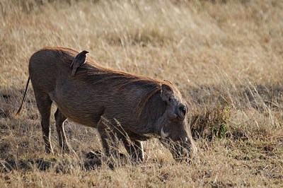 Photograph - Grazing Warthog With Bird by Mary Lee Dereske