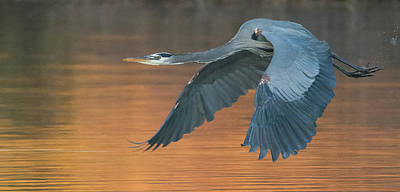 Photograph - Great Blue Heron 2487-012219 by Tam Ryan