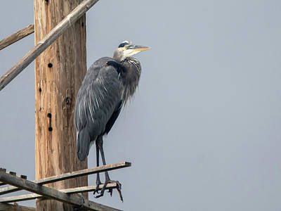 Photograph - Great Blue Heron 3281-100318-1cr by Tam Ryan