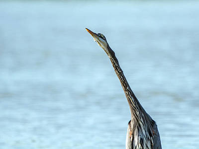 Photograph - Great Blue Heron 3581-100818-1cr by Tam Ryan