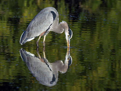 Photograph - Great Blue Heron 9861-111418-1cr by Tam Ryan